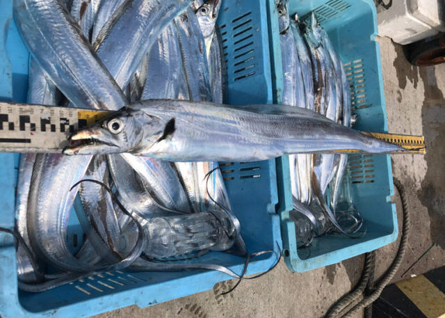 9月3日(日)の釣果(タチウオ船中70匹) 太刀魚釣果102cmほか船中70匹、トップ19匹